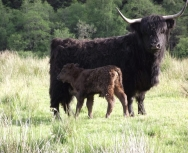 Cow and Calf at Tulloch