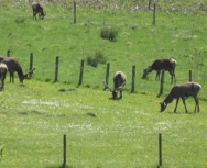 Wild deer coming onto the farm to graze