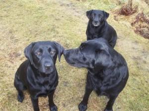 Tulloch Black Labrador Dogs