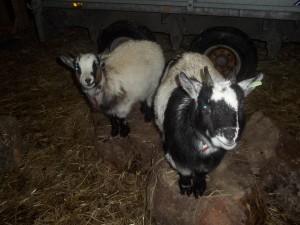 Tulloch Mini Goats